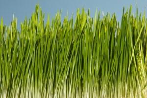 media/image/Weizengras-Superfood.jpg