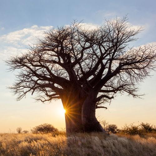 media/image/Baobab_Fruechte-1.jpg