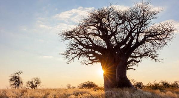 media/image/Baobab-Baum-in-der-Savanne-2.jpg