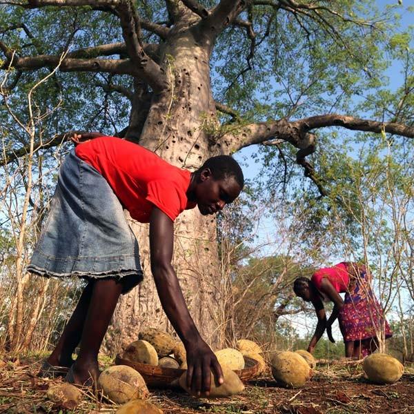 media/image/baobab-direkter-handel-afrika.jpg
