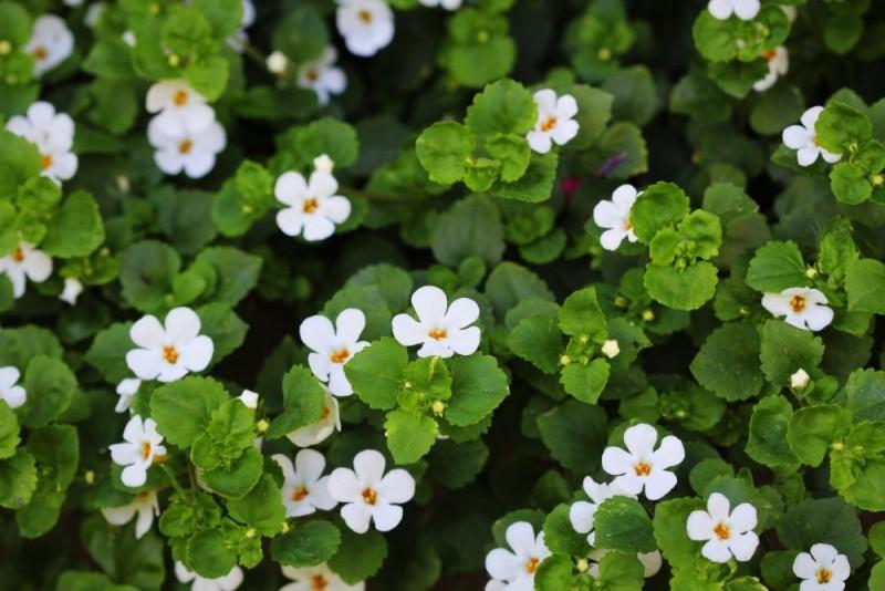 media/image/Brahmi-Pflanze-min.jpg