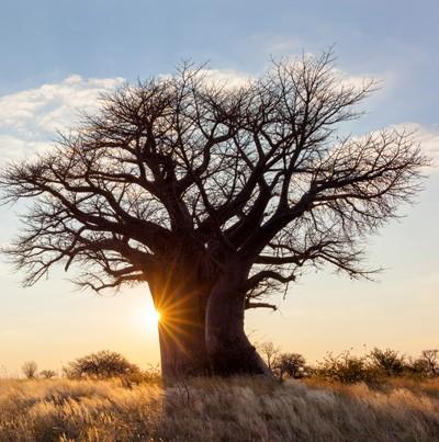 media/image/Baobab-Baum.jpg