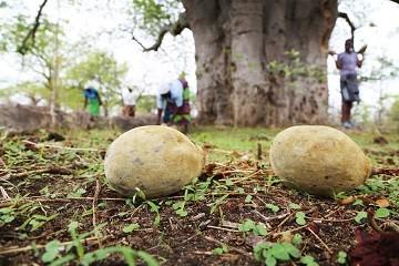 media/image/Baobab-aufBoden.jpg