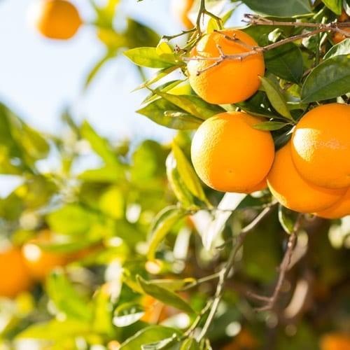 Orangen_500x500