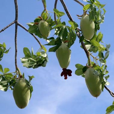 media/image/Baobab_Fruechte_380x380.jpg