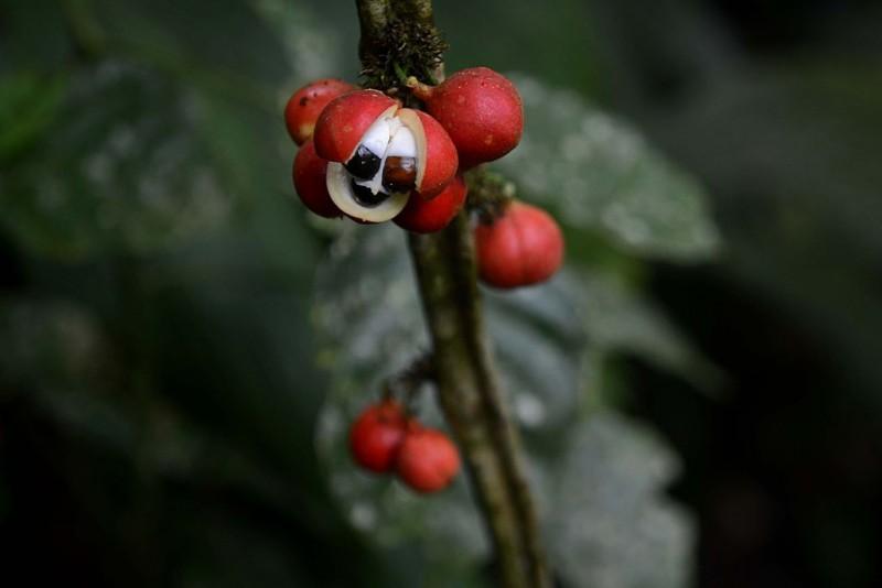 media/image/Guarana-Pflanze.jpg